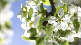 Blooming flowers of a pear tree close up backlit by spring morning sun on the blue sky background. Blooming flowers of a pear tree close up backlit by spring stock video footage