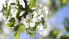 Blooming flowers of a pear tree close up backlit by spring morning sun on the blue sky background. stock footage