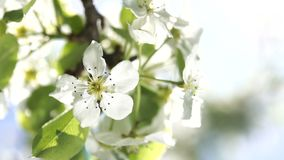 Blooming flowers of a pear tree close up backlit by spring morning sun on the blue sky background. Blooming flowers of a pear tree close up backlit by spring stock footage