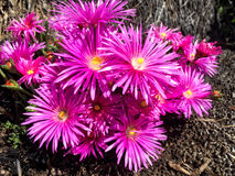 Blooming flowers. Pink blooming nice flowers Stock Images