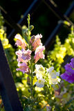 Blooming flowers pink snapdragons Stock Photography