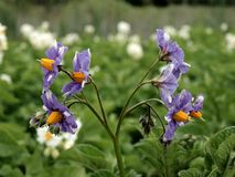 Blooming flowers of potato plant Royalty Free Stock Image