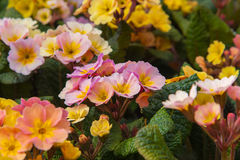 Blooming flowers Primel Peach Melba in yellow. Primula elatior Royalty Free Stock Photography