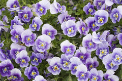 Blooming flowers. Purple and yellow pansies in nature stock photo