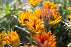 Blooming flowers of red and yellow colors Royalty Free Stock Photo