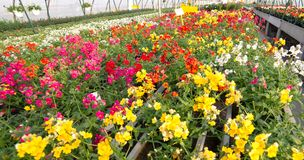 Blooming flowers for sale in the greenhouse Royalty Free Stock Images