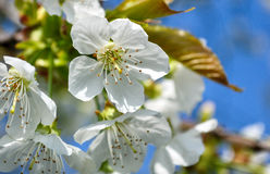 Blooming flowers spring with blue sky background Royalty Free Stock Photos
