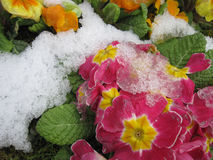 The Blooming Flowers In Spring Time With A Snow Stock Photos