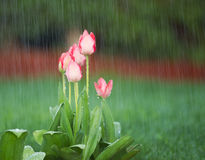 Blooming Flowers in Springtime Rain Stock Image