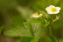 Blooming flowers strawberries Royalty Free Stock Photography