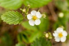 Blooming flowers strawberries Stock Photos