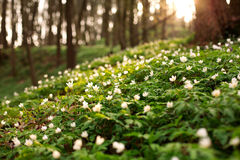 Blooming flowers in sunny green spring forest Stock Photo