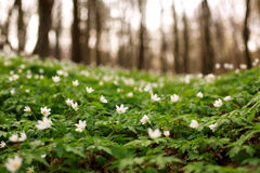 Blooming flowers in sunny green spring forest Stock Photography