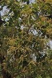 Blooming Flowers of Terminalia Chebula Stock Photos