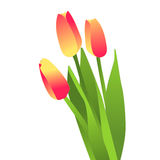 Blooming flowers, tulips Stock Photo