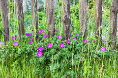 Blooming flowers on a wooden fence Stock Images