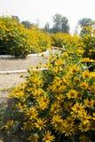 Blooming flowers, yellow chrysanthemum Stock Photo