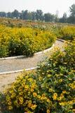 Blooming flowers, yellow chrysanthemum Royalty Free Stock Photo