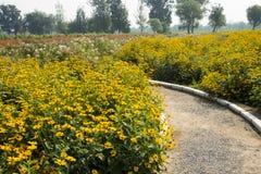 Blooming flowers, yellow chrysanthemum Stock Photography