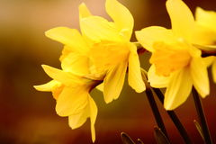 Blooming  flowers of yellow  narcissus close up Stock Photos