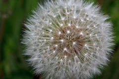 Blooming fluffy dandelion on a green meadow. Stock Photo