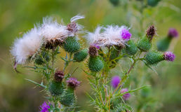 Blooming, fluffy, prickly thistle flowers Royalty Free Stock Photography