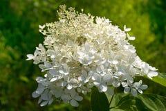 Blooming fluffy white hydrangea stock photo