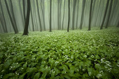 Blooming forest with fog and flowers on the ground Royalty Free Stock Photos