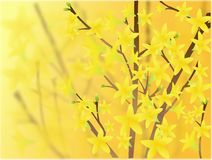 Blooming forsythia Stock Photos