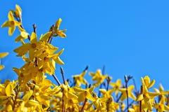 Blooming forsythia Stock Image