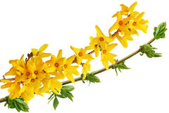 Blooming Forsythia. Flower isolated on white background Stock Photo