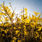 Blooming Forsythia. Looking at a yellow forsythia bush with the sunshine behind royalty free stock photo