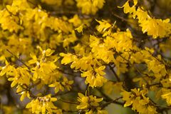 Blooming forsythia Stock Images