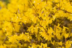 Blooming forsythia Royalty Free Stock Photography