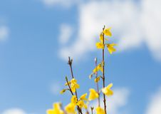 Blooming forsythia Stock Photo