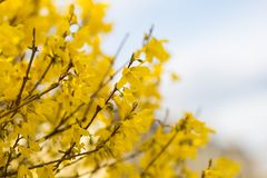 Blooming forsythia Royalty Free Stock Photo