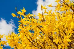Blooming forsythia Royalty Free Stock Photos