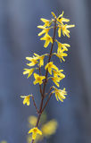 Blooming forsythia Royalty Free Stock Images