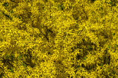 Blooming forsythia bush as the background. Royalty Free Stock Photo
