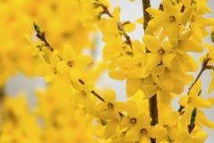 Blooming Forsythia bush stock photo