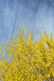 Blooming Forsythia bush Royalty Free Stock Photography