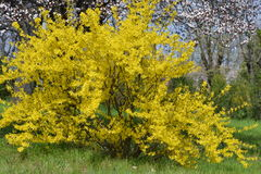 Blooming forsythia. In early spring Royalty Free Stock Photo