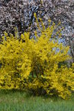Blooming forsythia. In early spring Royalty Free Stock Image