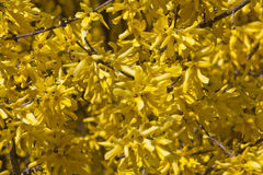 Blooming forsythia. Stock Photography