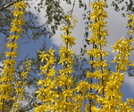 Blooming forsythia. Royalty Free Stock Images