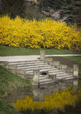 Blooming forsythia on a pond in a park.  Royalty Free Stock Photo