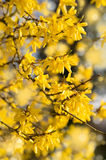 Blooming Forsythia Stock Image