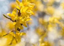 Blooming Forsythia, Spring background with yellow flowers tree branches Stock Images