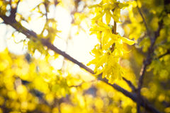 Blooming Forsythia, Spring background with yellow flowers tree branches Royalty Free Stock Photography