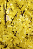 Blooming forsythia Royalty Free Stock Photo